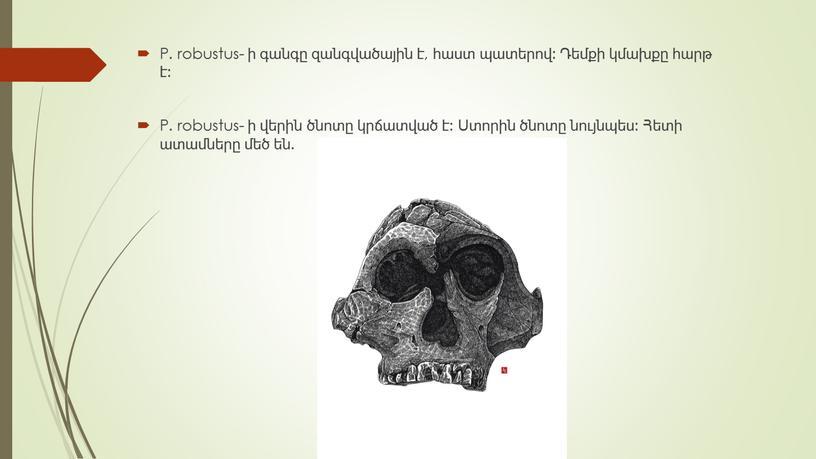 P. robustus- ի գանգը զանգվածային է, հաստ պատերով: Դեմքի կմախքը հարթ է: