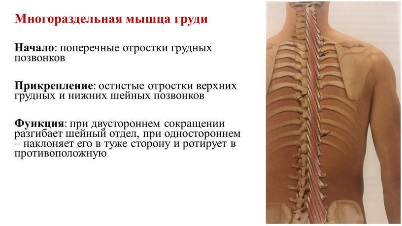 Многораздельная мышца груди Начало : поперечные отростки грудных позвонков
