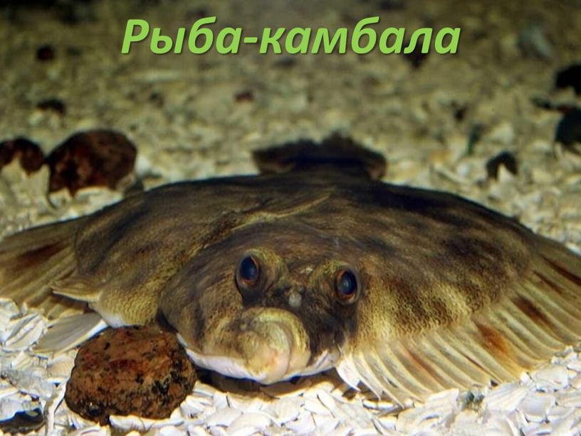 Рыба-камбала
