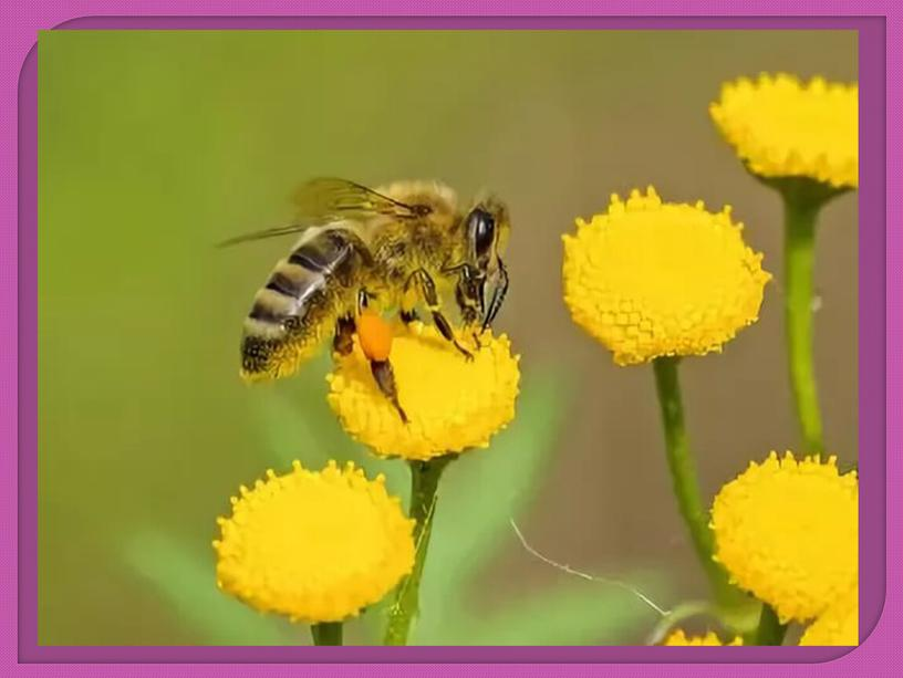 """Презентация """" Нет жизни на земле без пчел"""""""