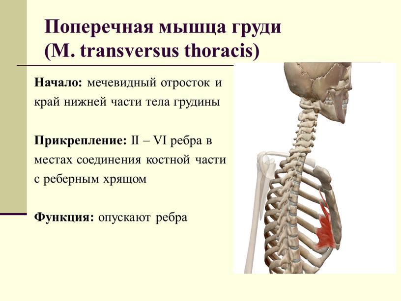 Поперечная мышца груди (М. transversus thoracis)