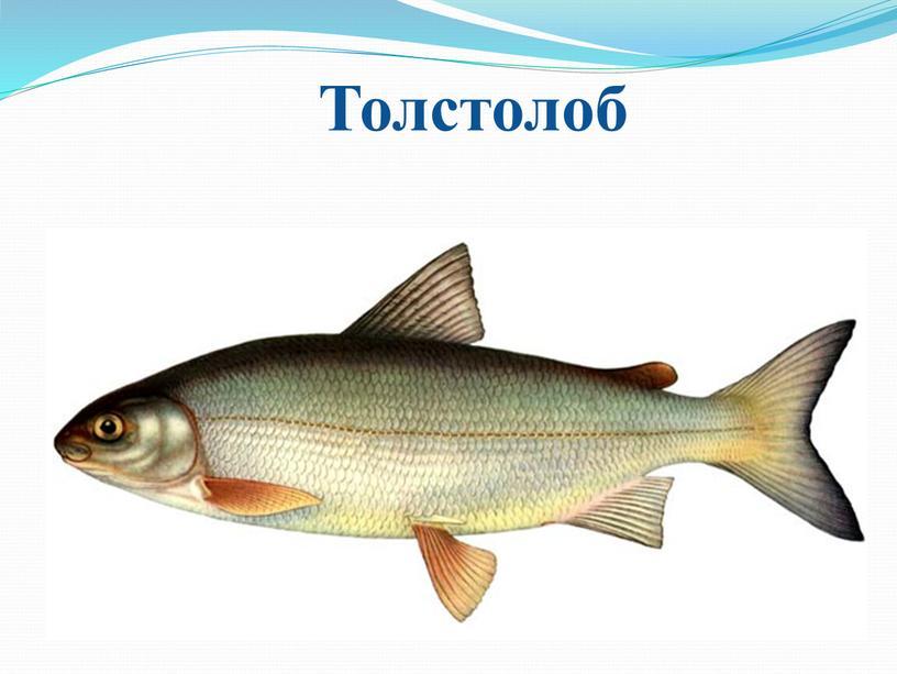 Толстолоб