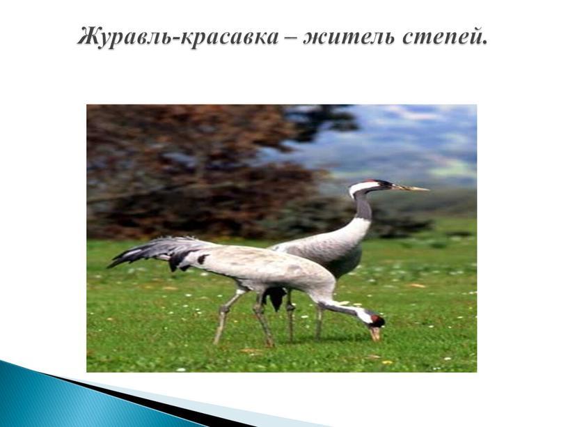 Журавль-красавка – житель степей