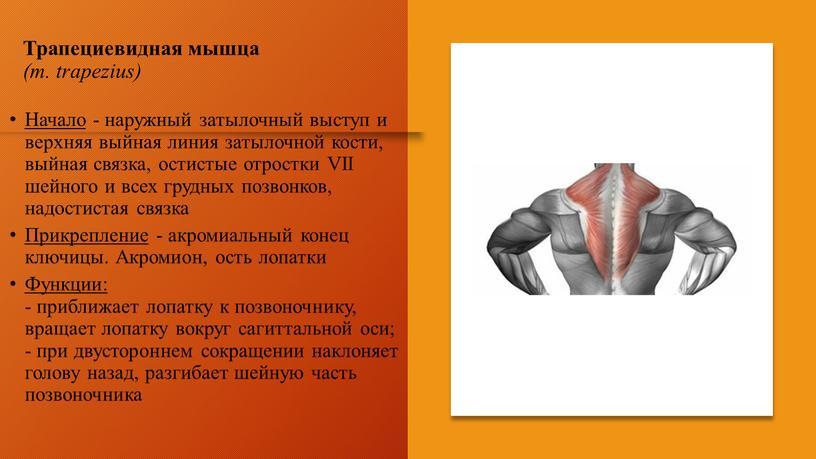 Трапециевидная мышца (m. trapezius)