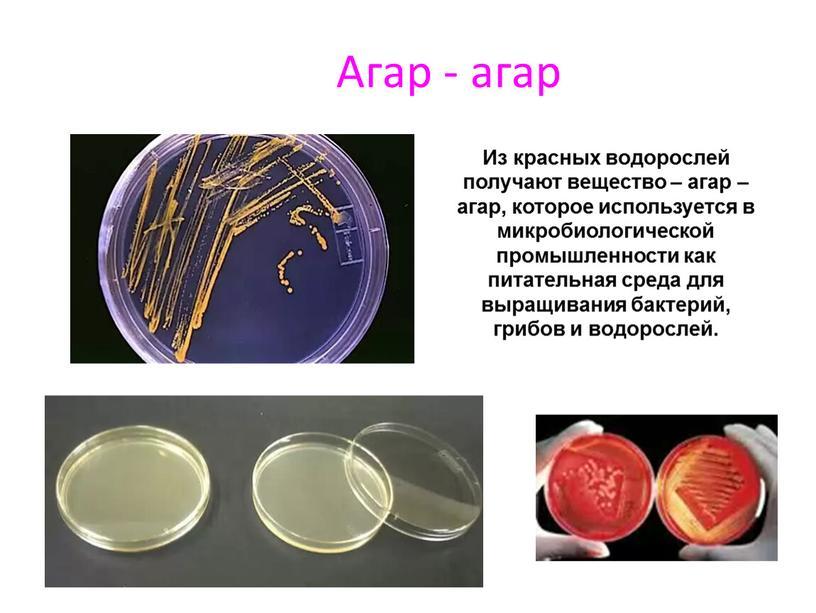 Агар - агар Из красных водорослей получают вещество – агар – агар, которое используется в микробиологической промышленности как питательная среда для выращивания бактерий, грибов и…
