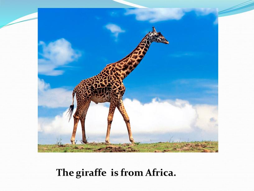 The giraffe is from Africa.
