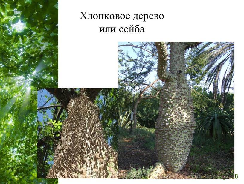 Хлопковое дерево или сейба
