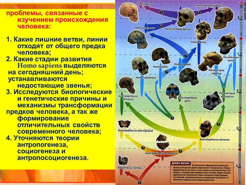 Какие лишние ветви, линии отходят от общего предка человека; 2