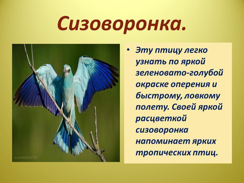 Сизоворонка. Эту птицу легко узнать по яркой зеленовато-голубой окраске оперения и быстрому, ловкому полету