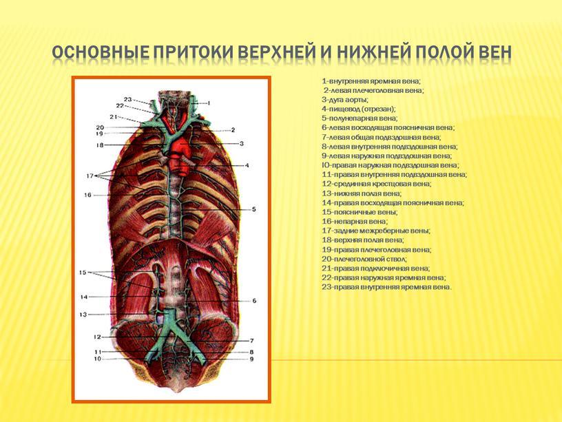 Основные притоки верхней и нижней полой вен 1-внутренняя яремная вена; 2-левая плечеголовная вена; 3-дуга аорты; 4-пищевод (отрезан); 5-полунепарная вена; 6-левая восходящая поясничная вена; 7-левая общая…