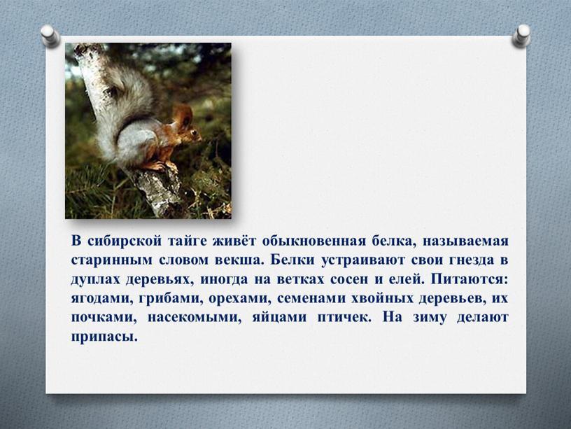 В сибирской тайге живёт обыкновенная белка, называемая старинным словом векша