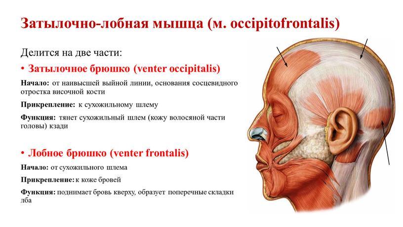 Затылочно-лобная мышца (м. occipitofrontalis)