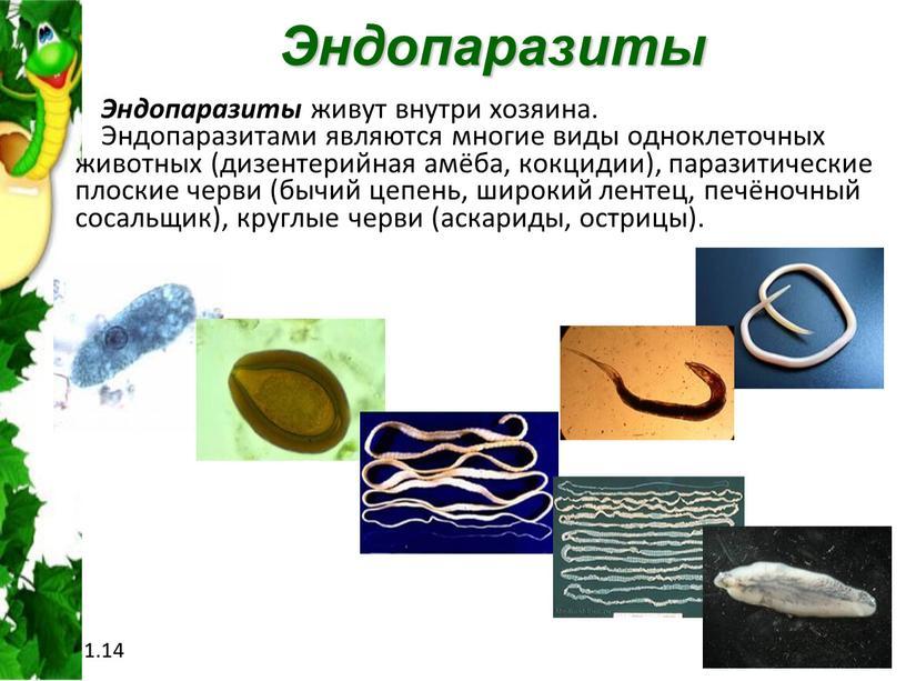 Эндопаразиты Эндопаразиты живут внутри хозяина