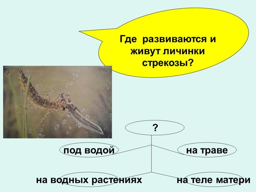 Где развиваются и живут личинки стрекозы? ?