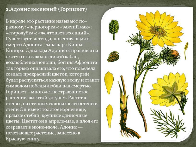 Адонис весенний (Горицвет) В народе это растение называют по–разному: «черногорка»; «заячий мак»; «стародубка»; «желтоцвет весенний»