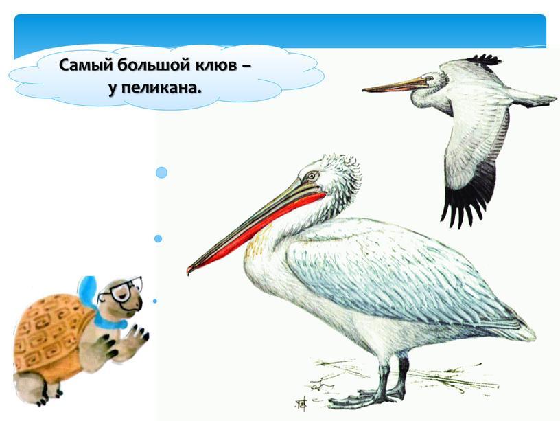 Самый большой клюв – у пеликана