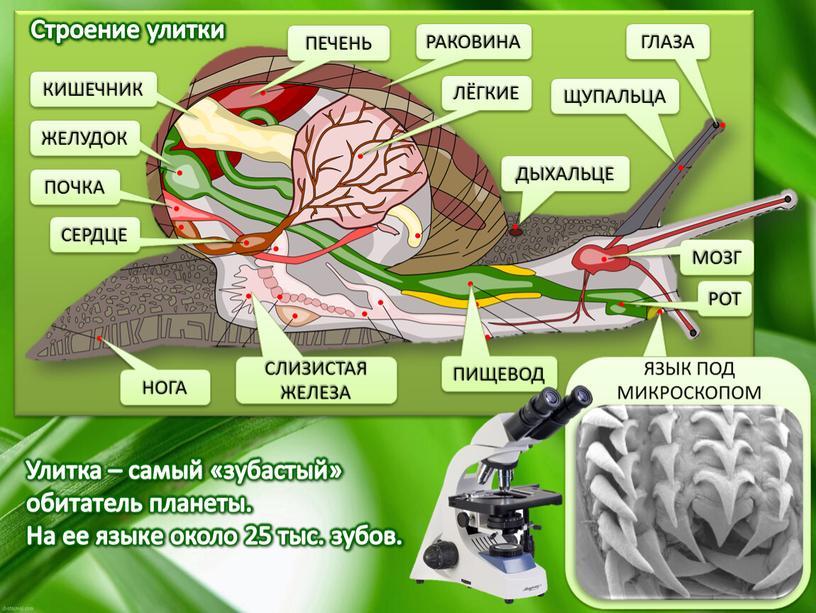 РОТ ЯЗЫК ПОД МИКРОСКОПОМ Улитка – самый «зубастый» обитатель планеты