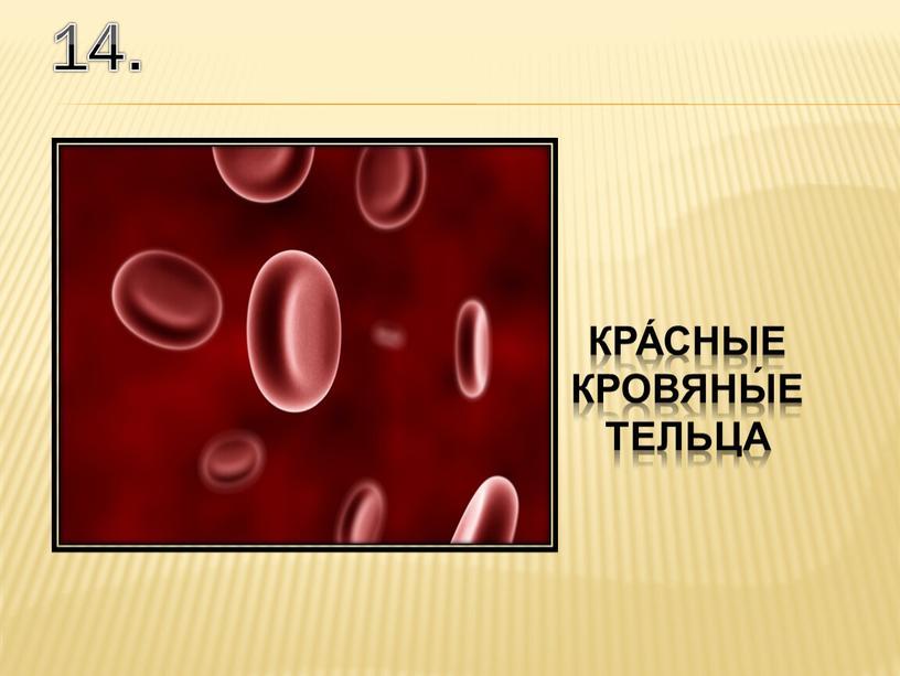 14. кра́сные кровяны́е тельца