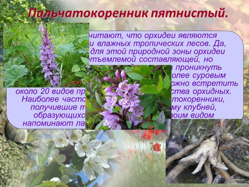 Пальчатокоренник пятнистый. Многие люди считают, что орхидеи являются представителями влажных тропических лесов