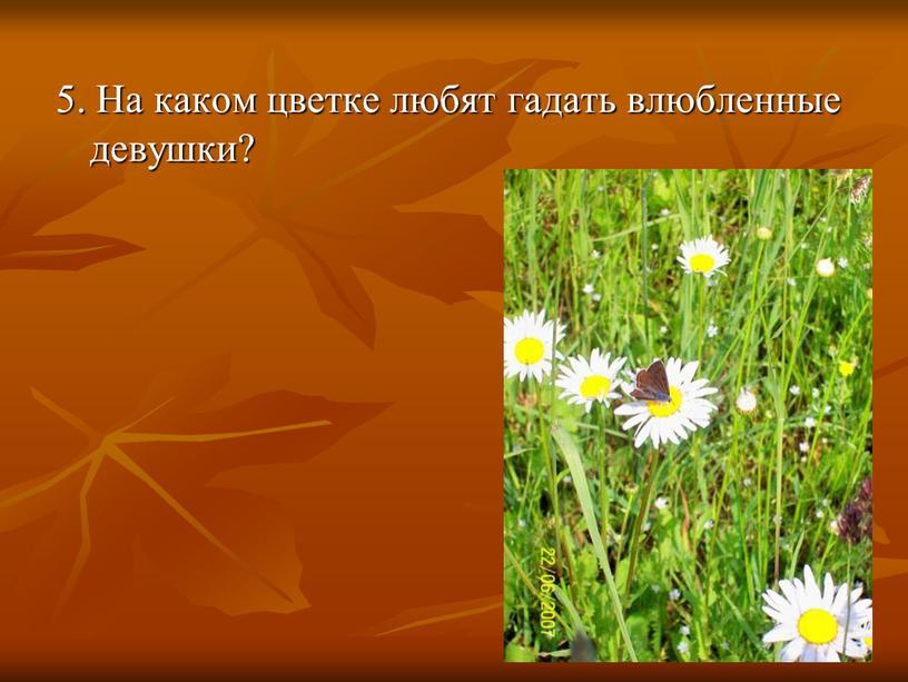 На каком цветке любят гадать влюбленные девушки?