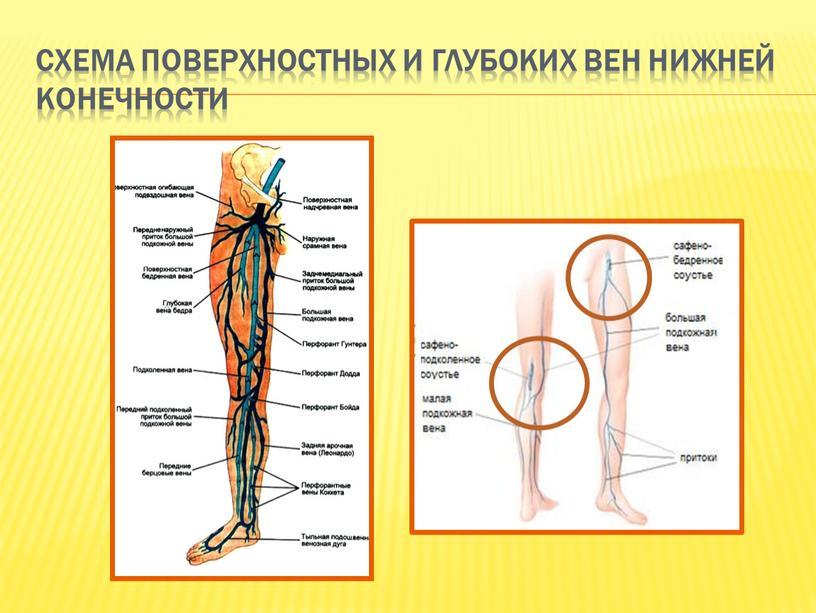Схема поверхностных и глубоких вен нижней конечности