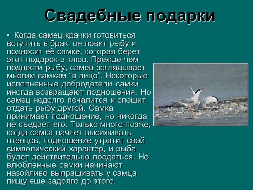 Когда самец крачки готовиться вступить в брак, он ловит рыбу и подносит её самке, которая берет этот подарок в клюв