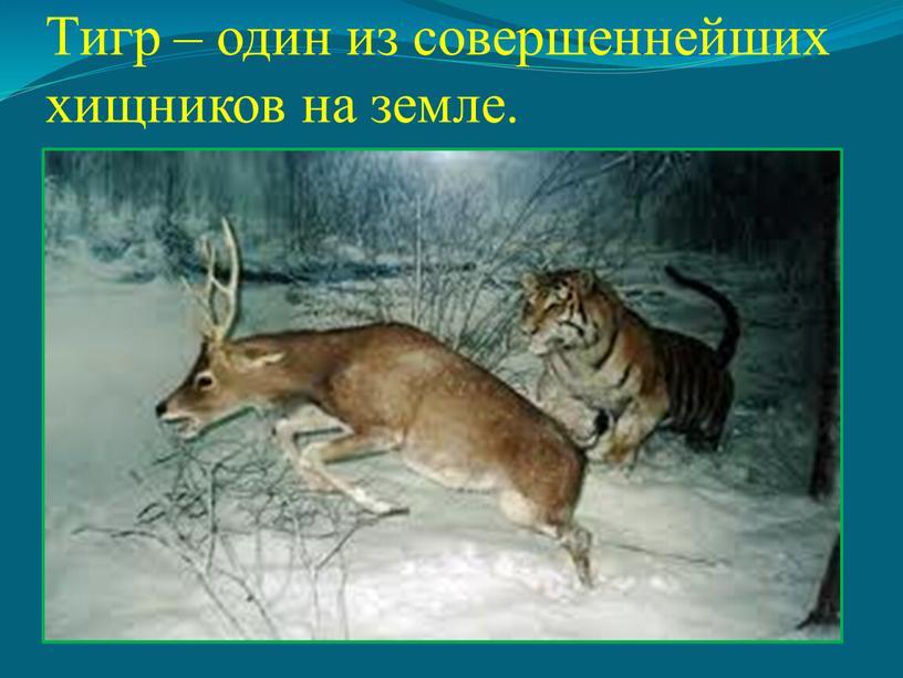 Тигр – один из совершеннейших хищников на земле