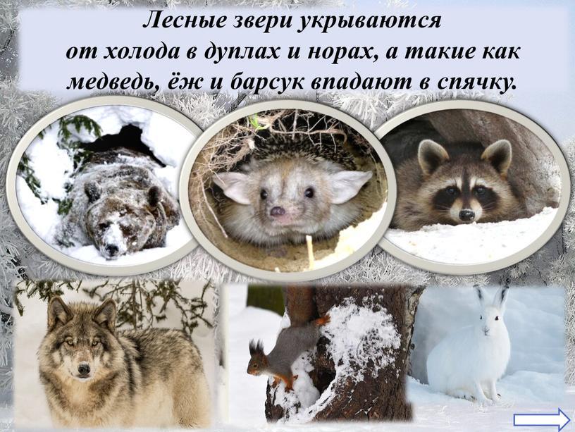 Лесные звери укрываются от холода в дуплах и норах, а такие как медведь, ёж и барсук впадают в спячку