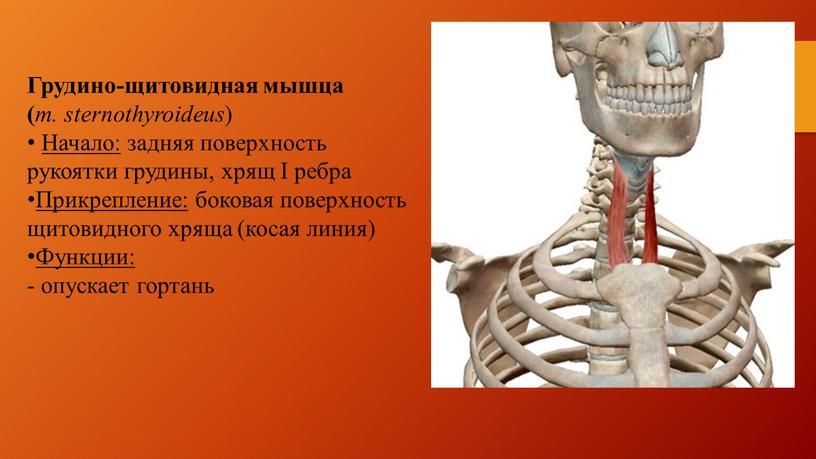 Грудино-щитовидная мышца ( m