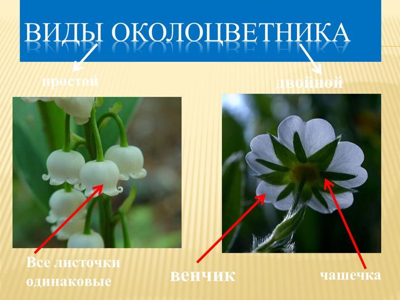 Виды околоцветника простой двойной