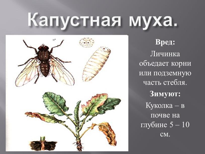 Капустная муха. Вред: Личинка объедает корни или подземную часть стебля