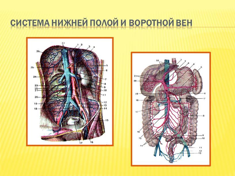 Система нижней полой и воротной вен