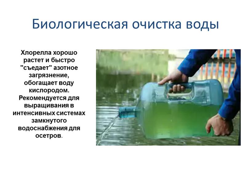 """Биологическая очистка воды Хлорелла хорошо растет и быстро """"съедает"""" азотное загрязнение, обогащает воду кислородом"""