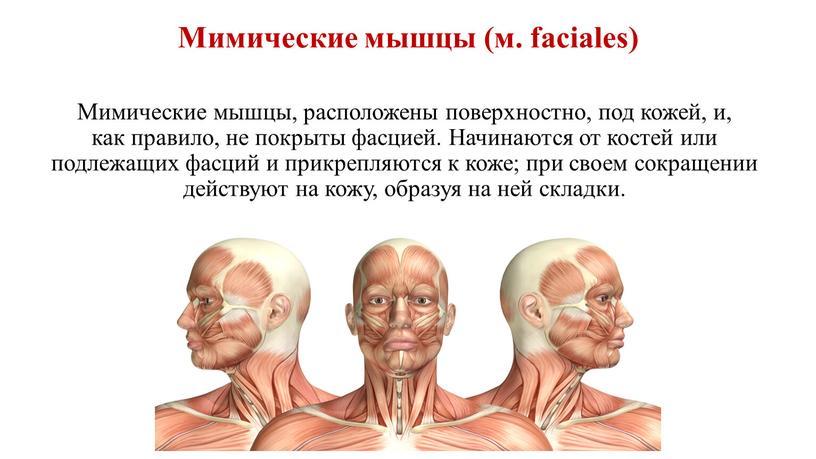Мимические мышцы, расположены поверхностно, под кожей, и, как правило, не покрыты фасцией