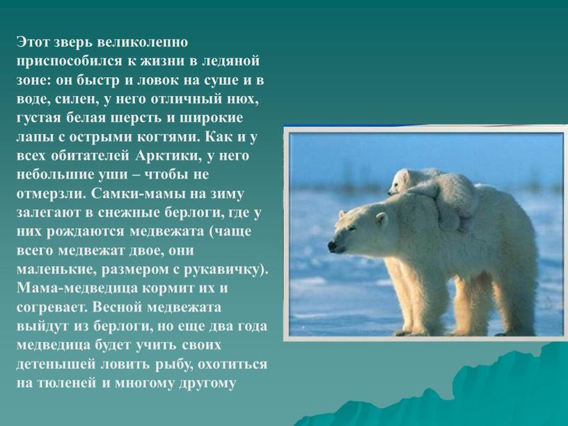 Этот зверь великолепно приспособился к жизни в ледяной зоне: он быстр и ловок на суше и в воде, силен, у него отличный нюх, густая белая…