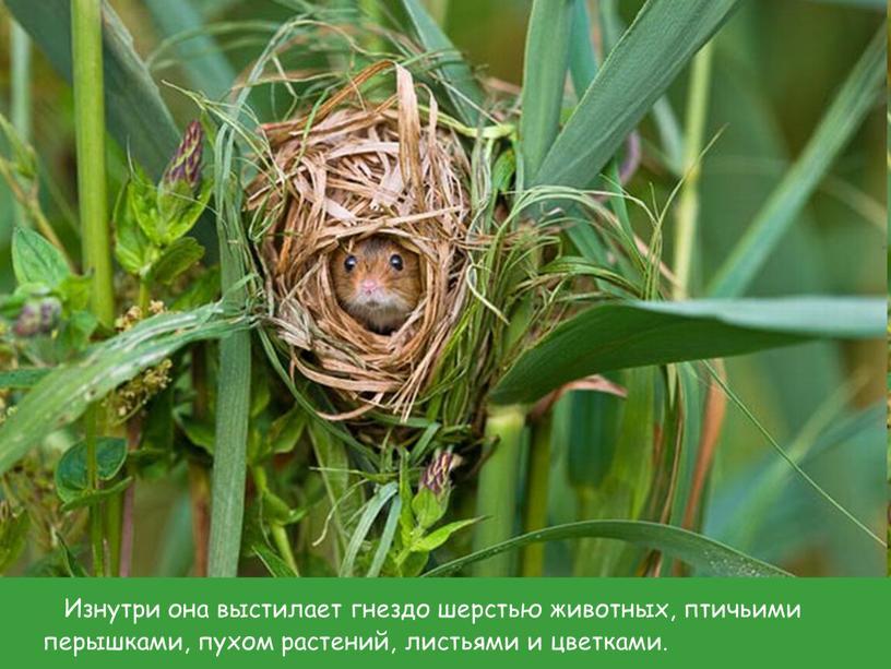 Изнутри она выстилает гнездо шерстью животных, птичьими перышками, пухом растений, листьями и цветками