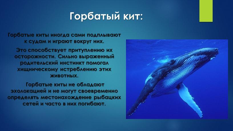 Горбатый кит: Горбатые киты иногда сами подплывают к судам и играют вокруг них