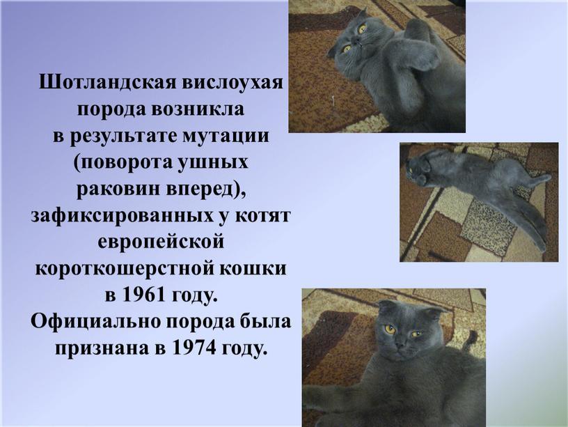 Шотландская вислоухая порода возникла в результате мутации (поворота ушных раковин вперед), зафиксированных у котят европейской короткошерстной кошки в 1961 году