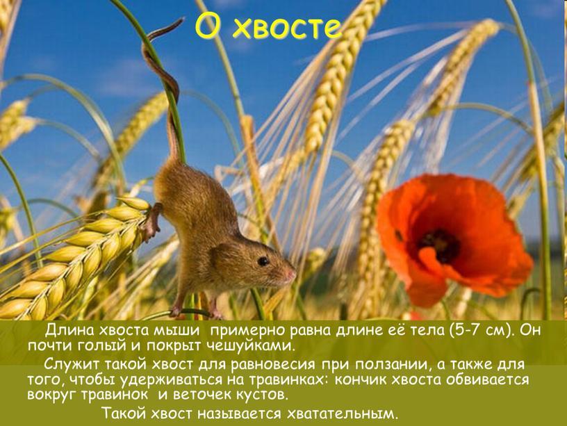 О хвосте Длина хвоста мыши примерно равна длине её тела (5-7 см)