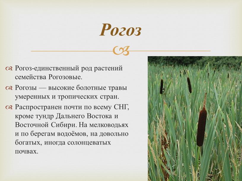 Рогоз-единственный род растений семейства