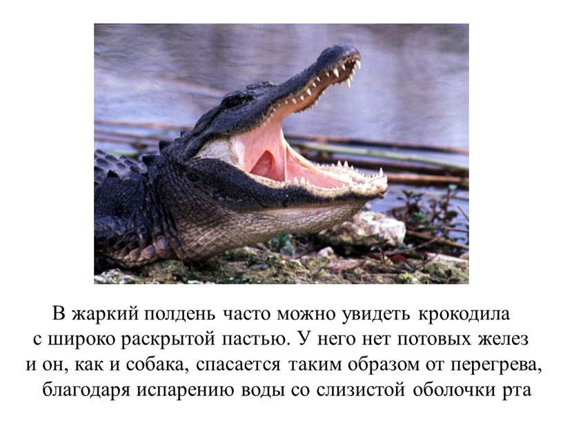 В жаркий полдень часто можно увидеть крокодила с широко раскрытой пастью