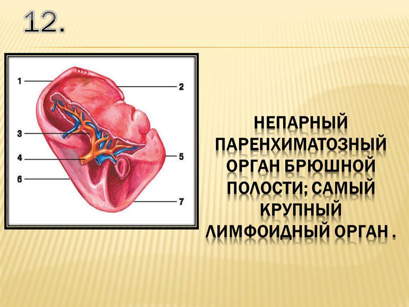 12. непарный паренхиматозный орган брюшной полости; самый крупный лимфоидный орган .