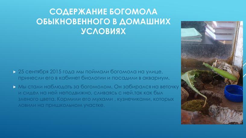 Содержание богомола обыкновенного в домашних условиях 25 сентября 2015 года мы поймали богомола на улице, принесли его в кабинет биологии и посадили в аквариум
