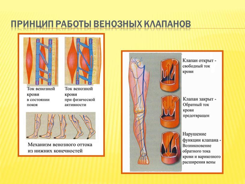 Принцип работы венозных клапанов