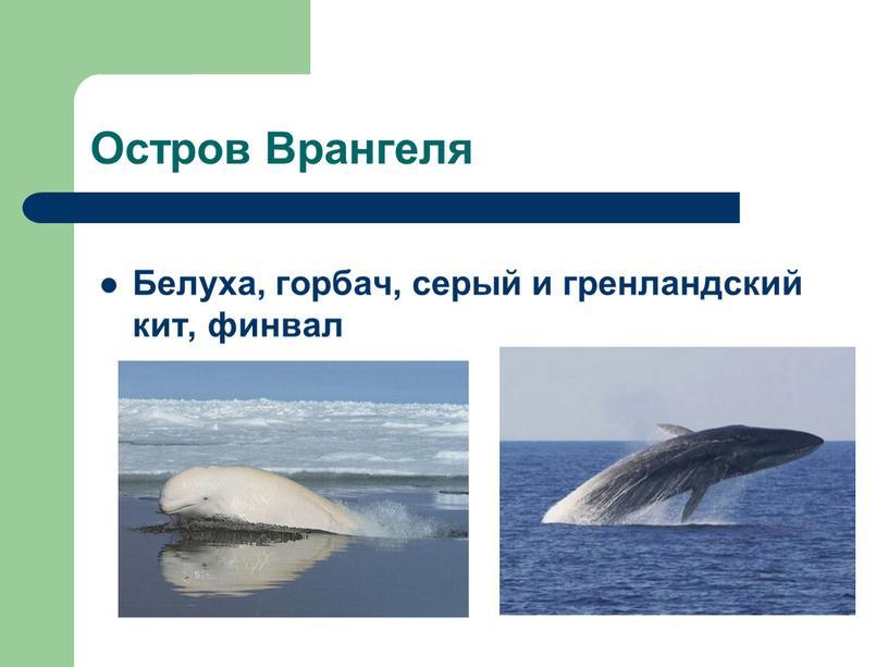 Остров Врангеля Белуха, горбач, серый и гренландский кит, финвал
