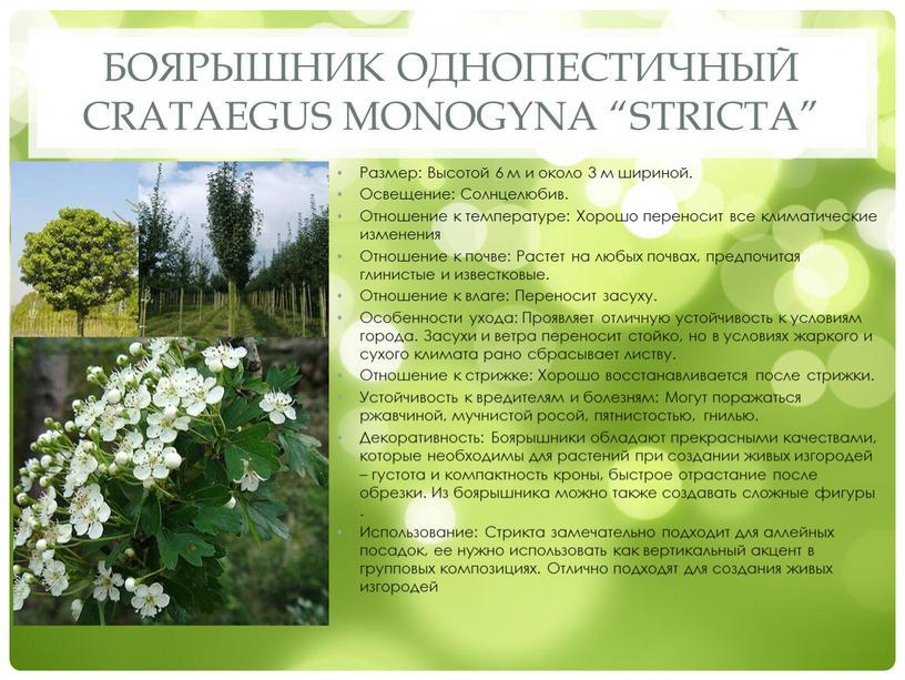 "Боярышник однопестичный Crataegus monogyna ""Stricta"""
