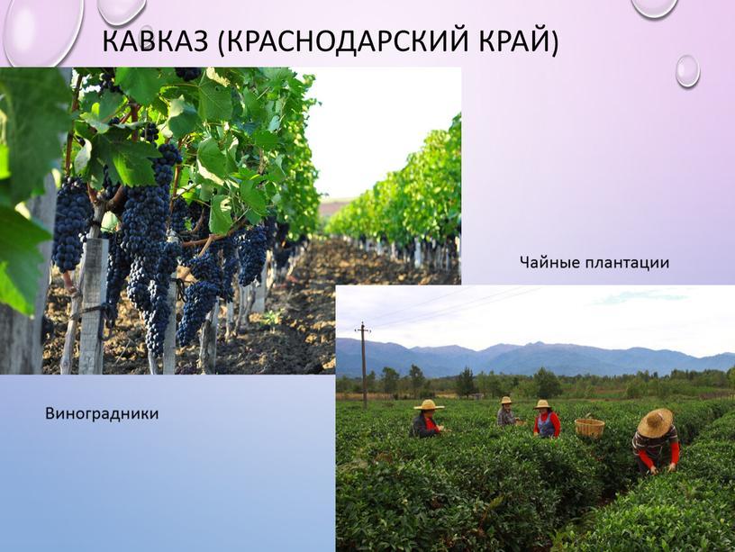 Кавказ (Краснодарский край) Виноградники