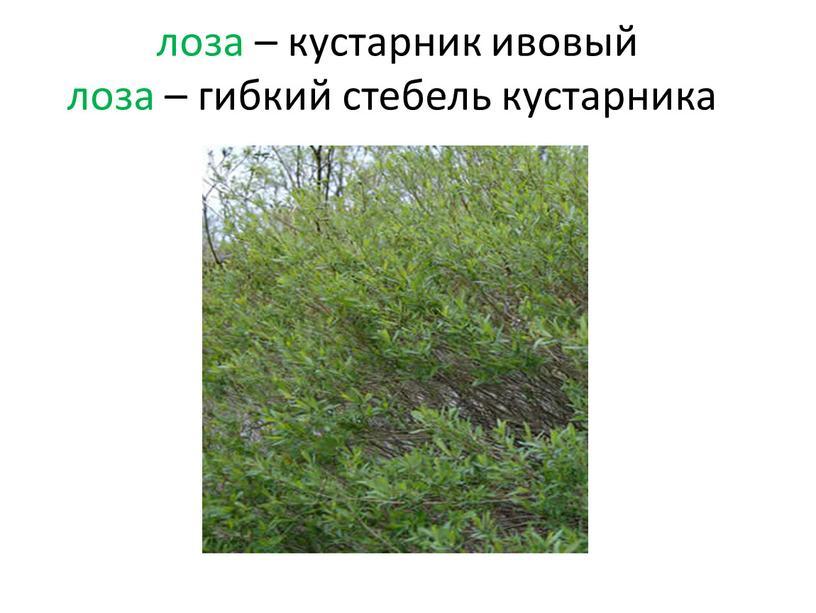 лоза – кустарник ивовый лоза – гибкий стебель кустарника