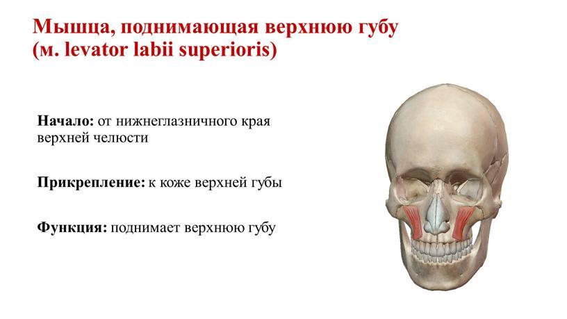 Мышца, поднимающая верхнюю губу (м