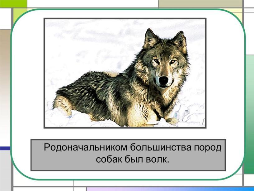 Родоначальником большинства пород собак был волк